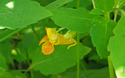 jewelweed flower picture