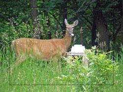 deer at salt block, deer licking salt, salt essential nutrient,