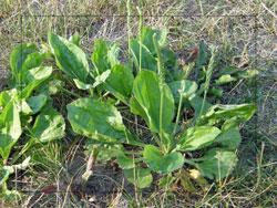 plantain picture