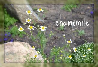 chamomile art, camomile, chamomile,