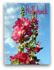 hollyhocks, edible flower, red hollyhocks,