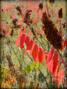 Red leaves of sumac in fall