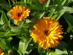 calendula bloom, pot marigold, healing plant,