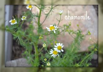 chamomile picture
