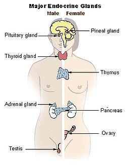 endocrine system, thyroid