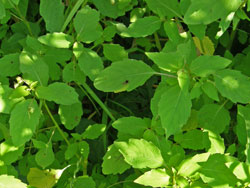 jewelweed leaves picture