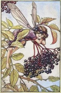 Elderberry art, elderberry fairy,