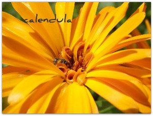calendula flower picture