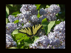 butterfly on lilac bush