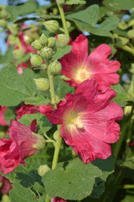 Edible Hollyhocks