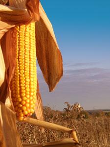 field corn, corn, farm corn,